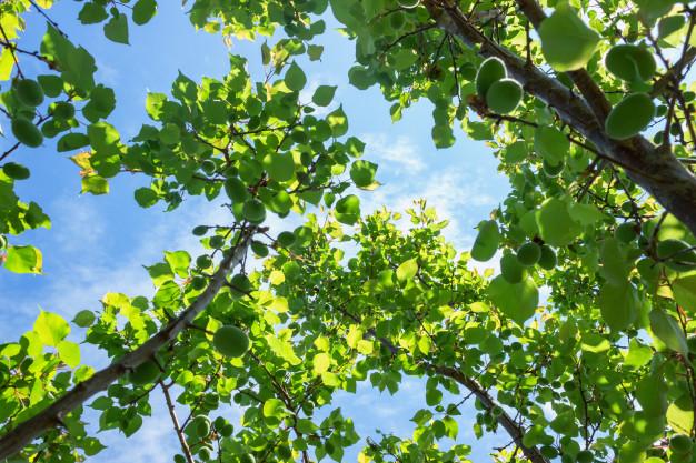 Taille d'arbre fruitier
